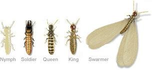 drywood termite types