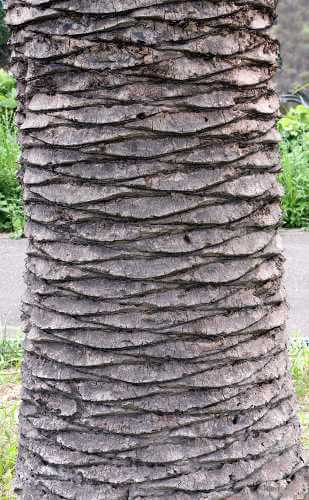 canary-island-date-palm-bark