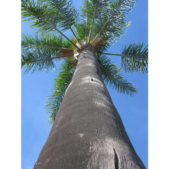queen-palm-bark